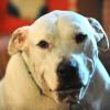 Dog Fighting Raid, also a heroic Pitbull, and Animal Welfare