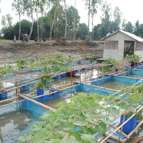 In Bangladesh Farms Float on Flooded Rivers