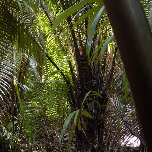 Dawn Chorus Rainforest - 20th March 2014 - 5.57am