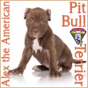 Alex The American Pit Bull Terrier