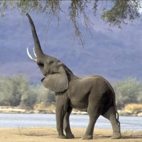 Dick elephant Elephant Tube