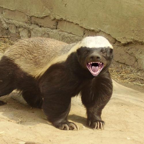 Honey Badger Christmas