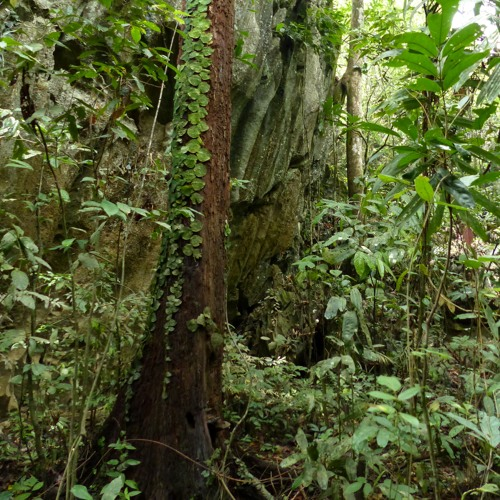 Birds and cicadas singing in a mature forest on Palawan island