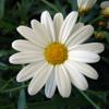Wildflower - Skylark - Cover Version