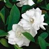Dos gardenias (Buena Vista Social Club) Cover - Marce Morales