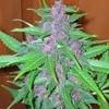 Smoking on Purple beat