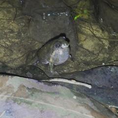 Common Eastern Froglet (Crinia Signifera)