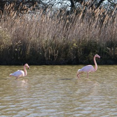 Flamingo Mating Calls 01 (Mid Perspective) - The Camargue, France