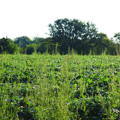 Monsanto GMOs: soybean and cotton