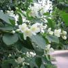 Jasmine Flower 茉莉花 - La Tiểu Từ_Guzheng cover