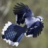 Bluebirds Roam