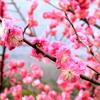梅花 ~ MeiHua (PlumBlossom) mp3