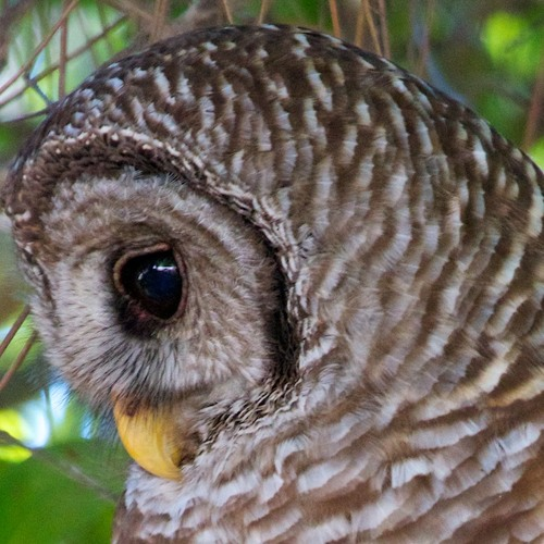 Barred Owl - Perch Sounds - 150210 - 1853 by OwlGuy | Owl
