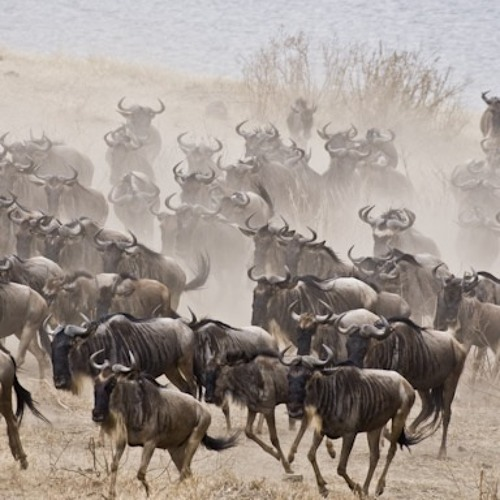 Journey Of The Wildebeests