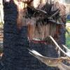 TC Marcia destroys 100-year-old Bunya Pines in the Rockhampton Botanic Gardens