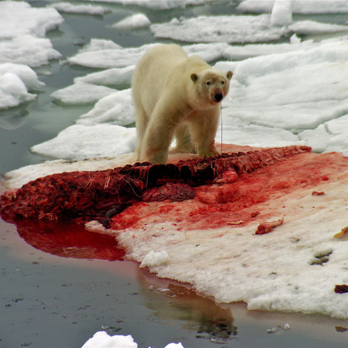 Usurp - Polar Bear