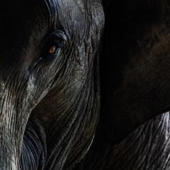Elephants Feeding at Night, Thailand
