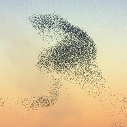 An Elegant Swarm of Starlings