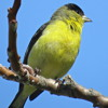 Lesser Goldfinch Song with mimic phrases