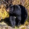 Black Bear - Andrew Belle