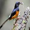 Download MP3 Suara Kicau Burung Murai Tembakan Cucak Jenggot