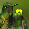 Band-tailed Guan alarm call