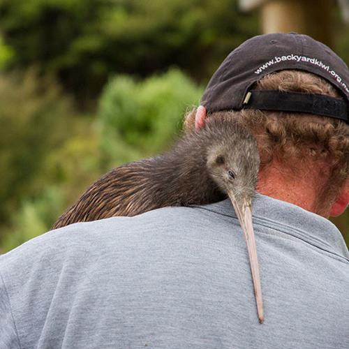 Backyard Kiwi Release