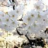 Profound Beauty In Sakura Full Bloom  - #469