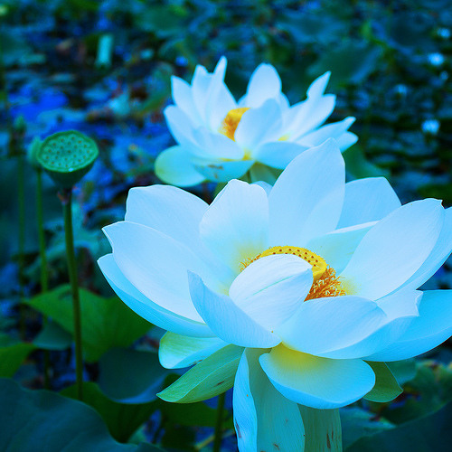 Radiohead - Lotus Flower (Cover)