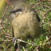 Female Bellbird Song.WAV