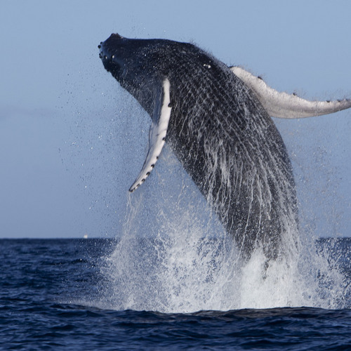 Humpback Whale Sightings Surge 400% Off East Coast