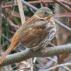 Fox Sparrow at Kiwanis Riverway Park