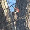Pileated Woodpecker Drumming