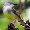Suara Terapi Burung Ciblek