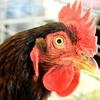 Sick Rooster Alarm
