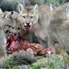 Hollywood wild mountain lion deemed not dangerous