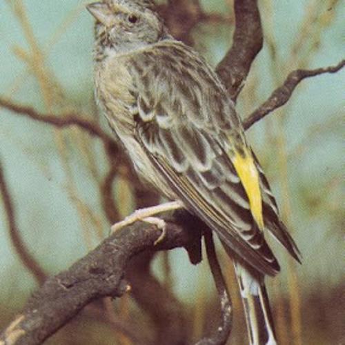 Kicau Burung Blackthroat By Pecinta Hewan