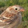 Field Sparrow (Bird Song)
