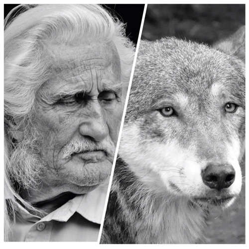 How Wolves and Humans Are Alike