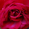 One Red Rose (Songs For Film Series)
