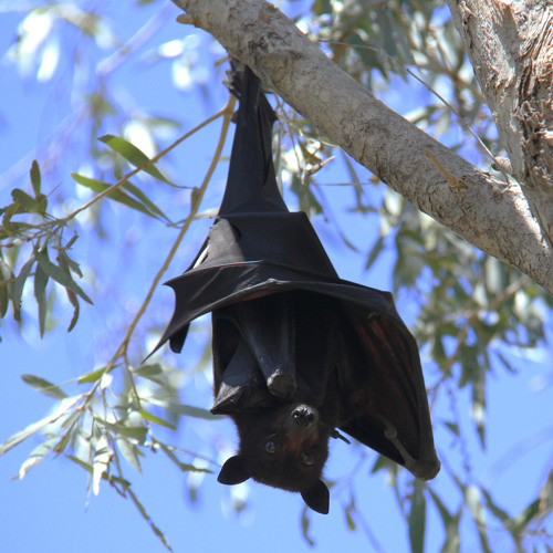 Black Fruit Bats (Pteropus alecto) of Nitmiluk