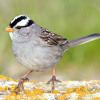 White - Crowned Sparrow Song
