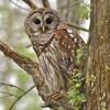 Barred Owl Call