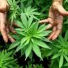 Da Weed - Alpha Roots
