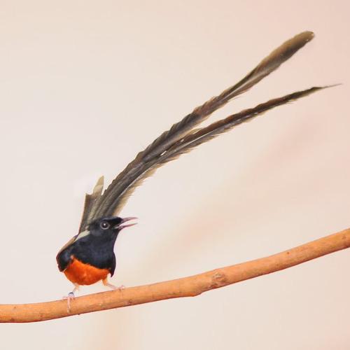 Suara Kicau Burung Murai Batu By Pecinta Hewan On Soundcloud Hear The World S Sounds