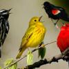 Le Chant des oiseaux - El cant dels ocells