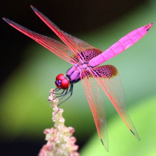 Enlightened Space Dragonfly From 47th Dimension