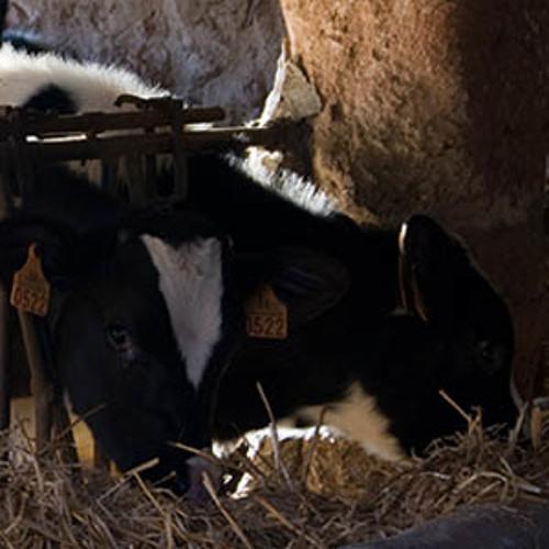 Mugido de vacas. Paisaje Sonoro en Campos. Mallorca
