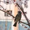 Cherry Blossom Blunt Wraps