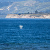 Whales migrating dangerously close to Santa Barbara oil spill